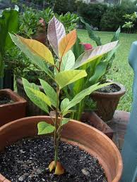 avocado growing indoors u2013 how to grow an avocado in a pot