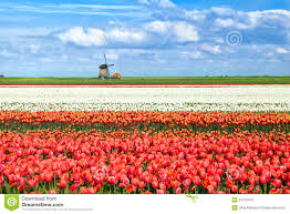 colorful tulip fields in alkmaar stock photography image 31125412