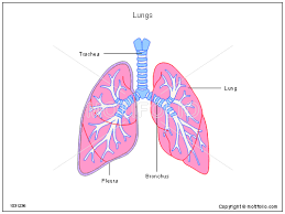 powerpoint design lungs lung template lungs ppt powerpoint drawing diagrams templates images
