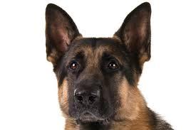 affenpinscher vs german shepherd 10 things only german shepherd dog owners will understand