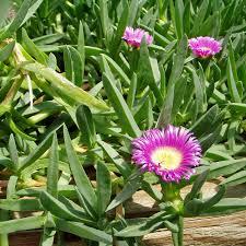 south australian native plants australian seed carpobrotus rossii