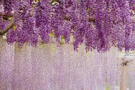 flowers violet rain wisteria flower purple garden wallpapers hd