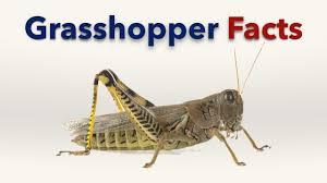 grasshopper facts for kids youtube
