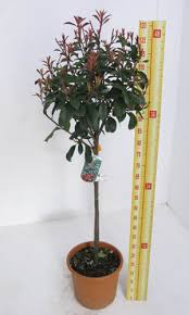 Lollipop Topiary Tree - cheap photinia red robin 1 4 standard lollipop trees cheap