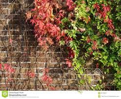 virginia creeper on a brick wall stock photo image 65706057