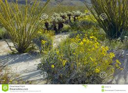 ocotillo blossoms and desert gold yellow flowers in spring at
