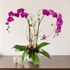 orchid plant cascade orchid plant