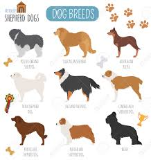 australian shepherd illustration dog breeds shepherd dog set icon flat style vector illustration