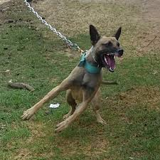belgian shepherd malinois breeders belgian malinois puppies or older dogs available in hoobly