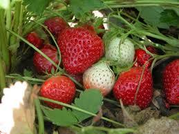 ontario berry growers association strawberries