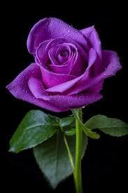 Lavender Roses The 25 Best Purple Roses Ideas On Pinterest Purple Rose