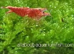 all about aquarium fish ornamental shrimps and