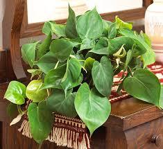 24 of the easiest houseplants you can grow houseplant plants