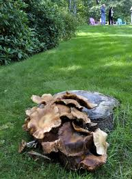 defoliation hammers cape trees news capecodtimes com hyannis ma