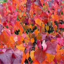 cercis canadensis forest pansy redbud trees u0026 shrubs