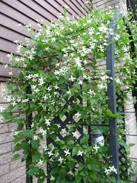 sweet autumn clematis climbing vine on an arbor located at the