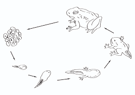 life cycle of a frog coloring page funycoloring