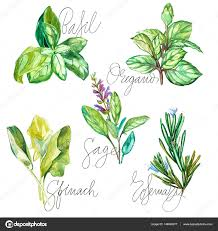 origan en cuisine collection aquarelle d herbes fraîches isolé romarin origan