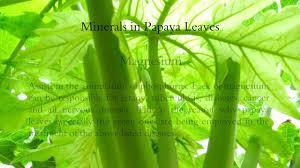wonders of papaya leaves youtube