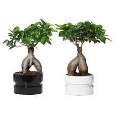 Wall Planters Indoor Ikea Ficus Microcarpa Ginseng Plant With Pot Bonsai Assorted Colors