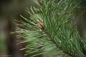 pine tree needles by szczygly on deviantart