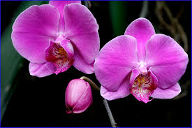 purple orchids purple orchids free wallpaper