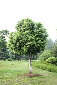 caring for camphor tree u2013 how to grow camphor trees in the landscape