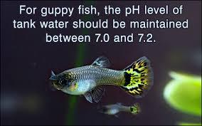 guppy fish care