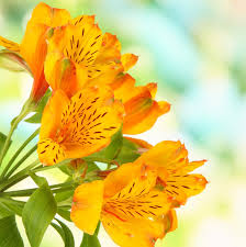 peruvian lilies alstroemeria bulbs for sale easy to grow bulbs easy to grow bulbs