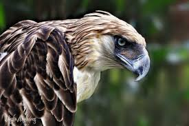 the philippine eagle youtube