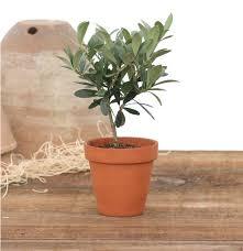 Lighted Topiary Trees 1 Lb Clay Pot Rosemary Topiary Fresh U0026 Live Topiary Plants