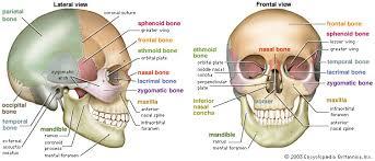 Human Anatomy Anterior Anatomy Organ Pictures Skull Human Anatomy Top Collection