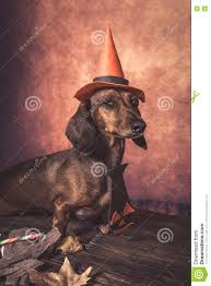 dachshund funny dog dressed for halloween stock photo image