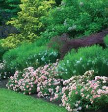 drift roses drift gardening
