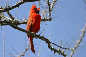 cardinals u0027 song means spring is around the corner toronto star