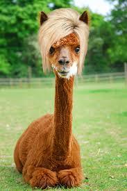 is long island medium hair a wig long island medium locks animals with theresa s hair long
