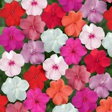 impatiens flowers elfin mix impatien seeds farmer seeds