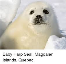 Baby Seal Meme - 25 best memes about baby harp seal baby harp seal memes