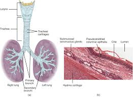 Anatomy And Physiology Of Speech Organs And Structures Of The Respiratory System Anatomy And