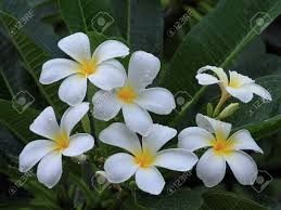 native plants of nz plumeria common name frangipani is a tropical flowering plants