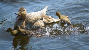 duck review call duck breed duckhobby