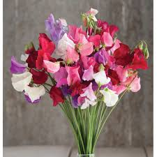 sweet pea flowers mammoth choice mix sweet pea seed johnny s selected seeds