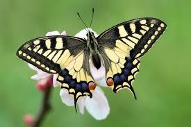 imagenes hermosas y unicas 15 mariposas únicas y hermosas notas la bioguía