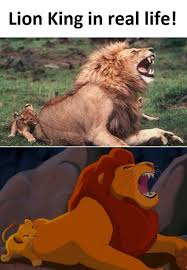 The Lion King Meme - lion king in real life disney pinterest lions real life
