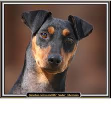 affenpinscher uk breeders masterkarn german u0026 affenpinscher breeder dobermann breeder