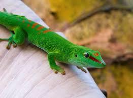 How To Care For Your by How To Care For Your Madagascar Day Gecko Abdragons