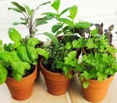 container vegetable gardens growing in pots indoor or balcony