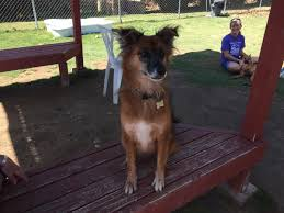 belgian shepherd los angeles saved from meat trade cinderella needs her fairytale ending for