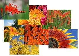 Flowers Information - orange flowers information from flowers org uk