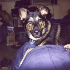 australian shepherd husky mix for sale siberian husky u0026 german shepherd mix information and photos